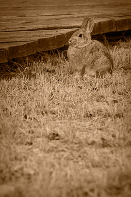 Bannack Bunny
